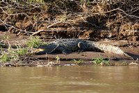 croc swallowing sunlight