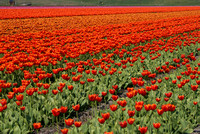 waves of tulips