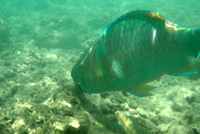 Parrotfish and Christmas wrasse 1, Hanauma Bay