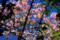 blossoms in canopy