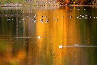 birds on orange rockland lake 1