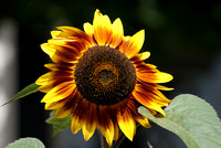 giant sunflower, durgerdam