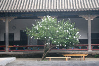 leaning tree, Shaolin Temple