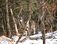 white tailed deer 1