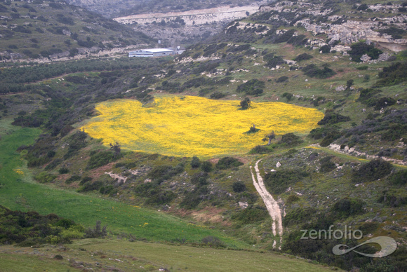 daisy field with context, Kourion